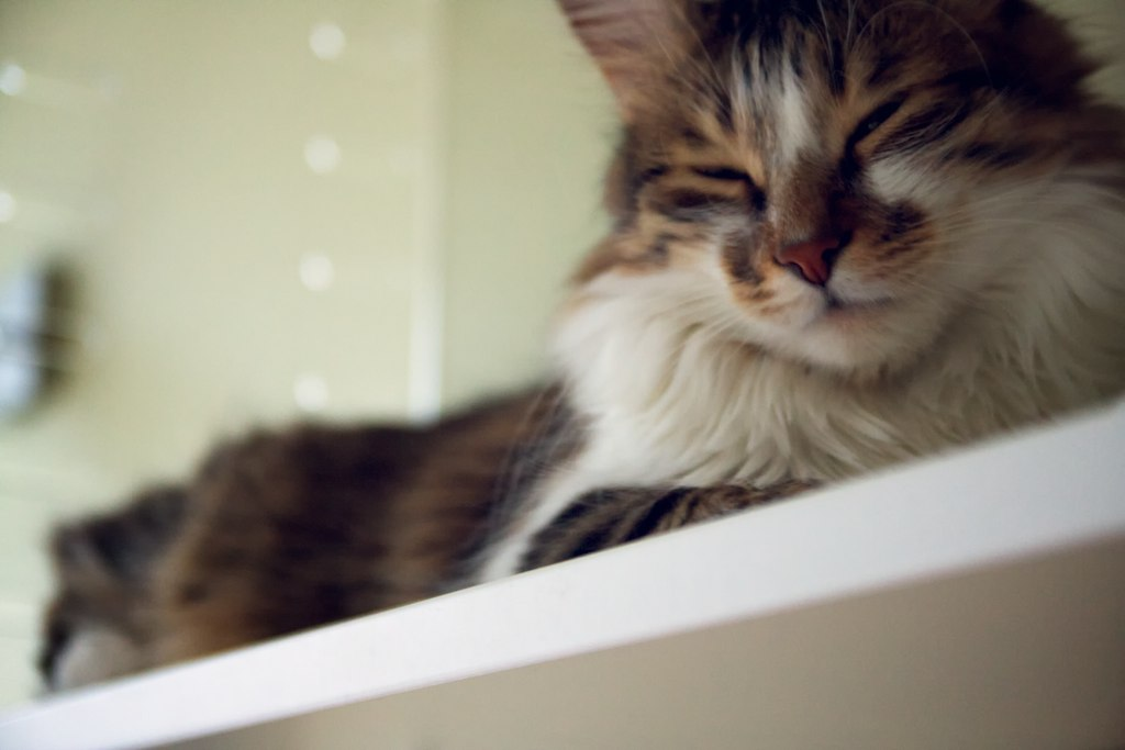 Lazy cat chillin' on the shelf after cleanin' during Saturday noon